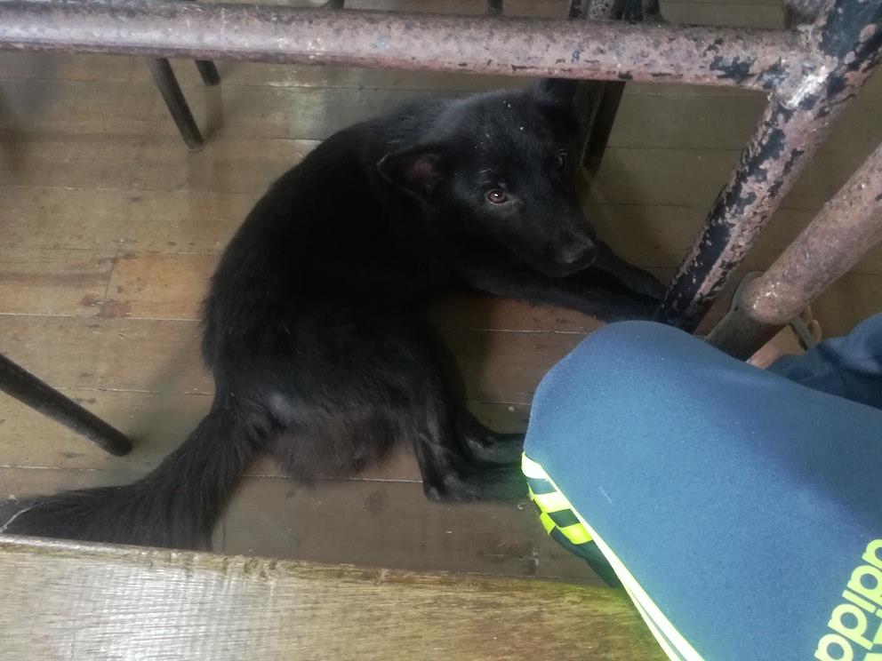 机の下のパプア犬